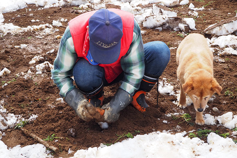 雪の下でひと冬を過ごしたスノーキャロットを収穫