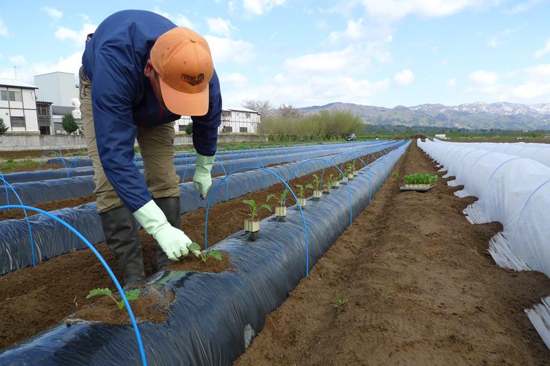 農作業体験記:「山より谷」がポイント。ケールの苗を植え付けました