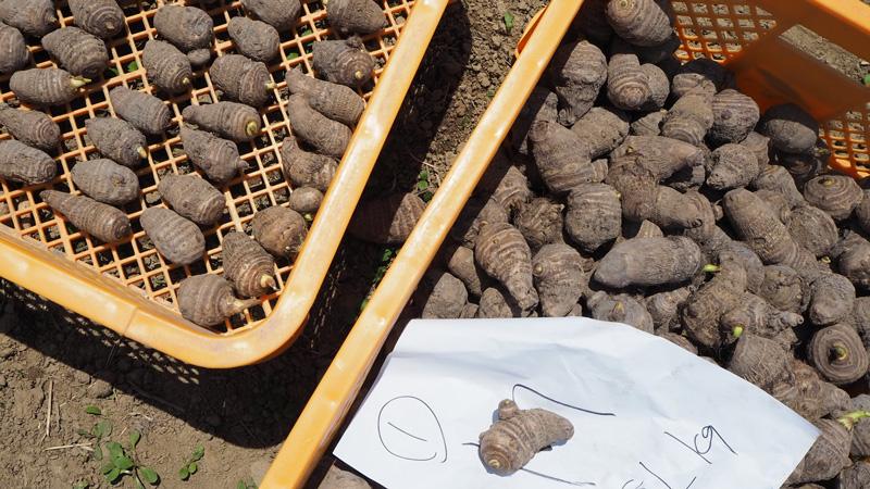 収穫量アップをめざせ! 飯山市の在来品種のさといも「坂井芋」栽培実験中