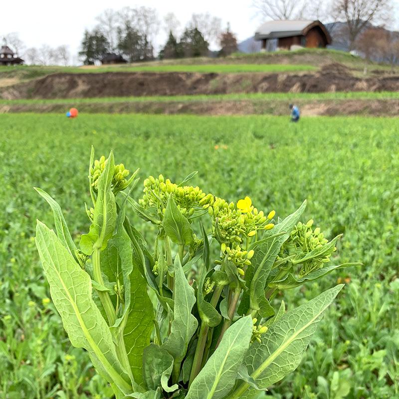 飯山の菜の花は野沢菜なんです。菜の花畑で収穫する「とうたち菜」