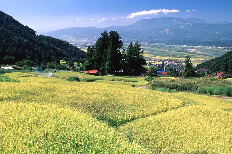 日本の棚田百選のひとつ。飯山市瑞穂「福島の棚田」で稲刈り体験と交流会